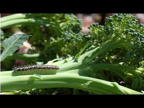 Horta Caseira - Pragas e Doenças