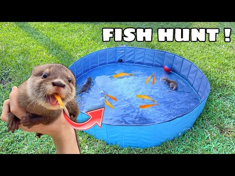TRAINING BABY OTTERS TO HUNT FISH ! WILL THEY EAT ?!