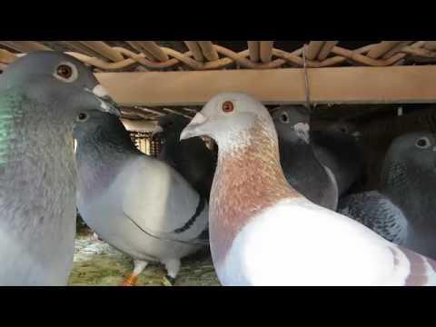 Suelta Internacional de Barcelona 2016 Pigeons Race