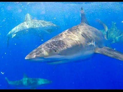 North Shore Shark Adventures, Cage Diving, SWIMMING with SHARKS - Oahu, Hawaii.