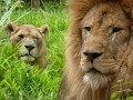 Simba and Bella: Together at last