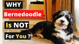 8 Reasons You Should Get & Not Get The Bernedoodle
