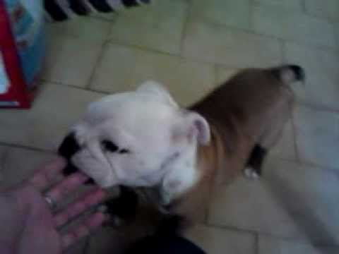 Rebus the english bulldog-first day at home 27 04