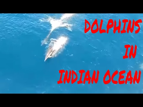 Dolphins in indian sea