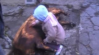 La cintei la porc 1 2012
