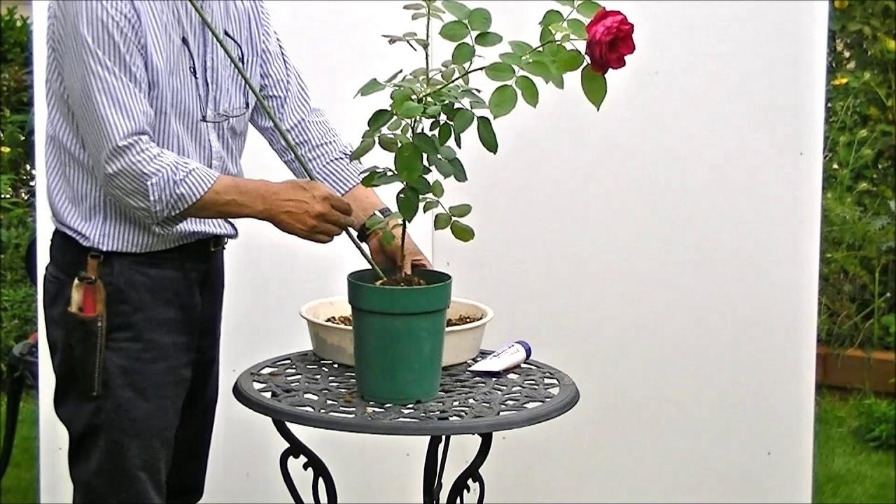 替え 時期 薔薇 の 植え