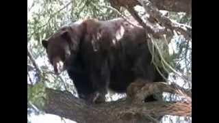 Very talkative Black Bear up a tree near Mammoth Lakes Ca