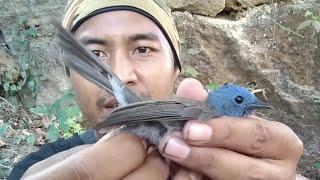 Mikat Burung Cantik Kepala Biru Dalam Hutan