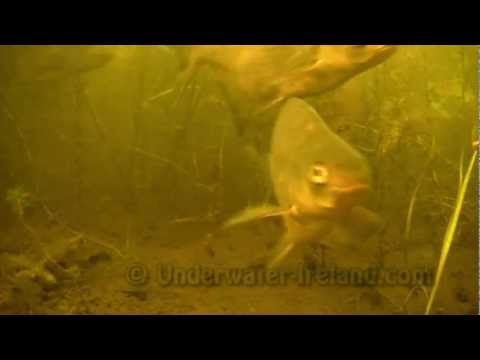 подводные съемки видео леща