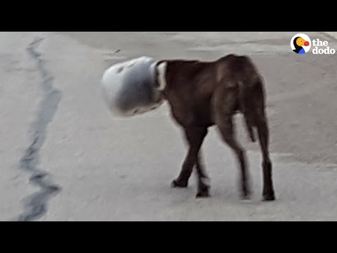 Pit Bull Rescue: Dog With Head Stuck in Jar for FOUR DAYS Saved  | The Dodo
