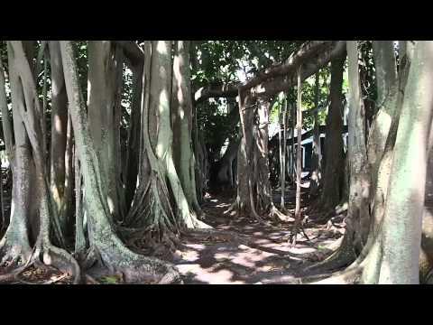 Banyan Tree at Edison