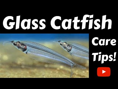 Glass Catfish Care Tips