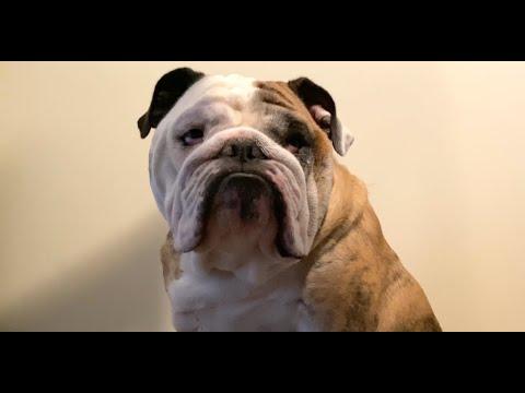 Reuben the Bulldog: The Pushover