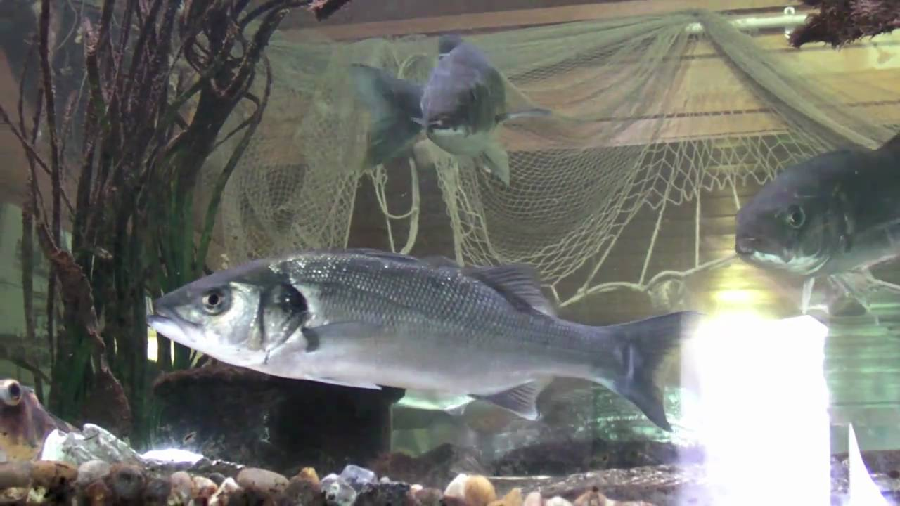 Cold water aquarium fish the image kid for Cold water fish tanks