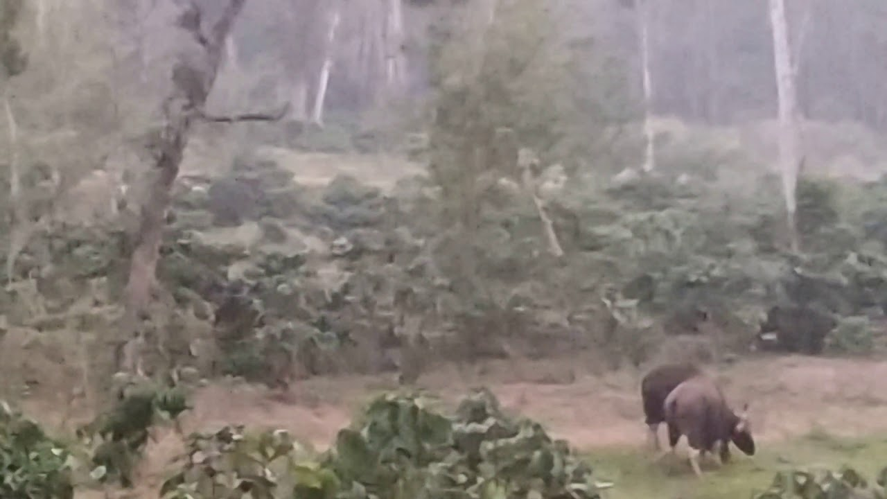 Indian Wild Bison Spotout - Bison Mating - Valparai - Tamilnadu - Kerala -  Tourism