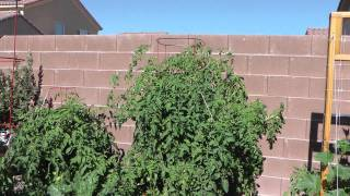 Las Vegas Vegetable Garden 6/9/2011