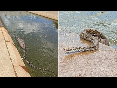 Python Eats Dog, Goes Swimming... Gets Stuck