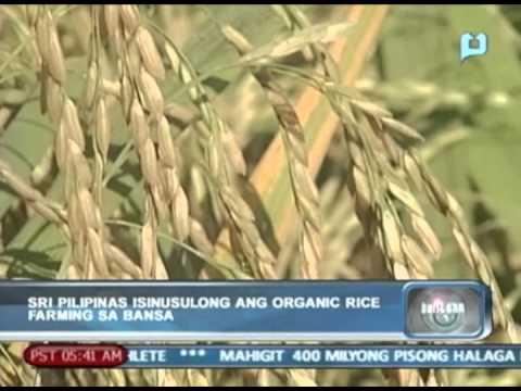 SRI Pilipinas, isinusulong ang organic rice farming sa bansa