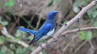 Burung Master : Sikatan Biru Putih (Cyanoptila Cyanomelana)