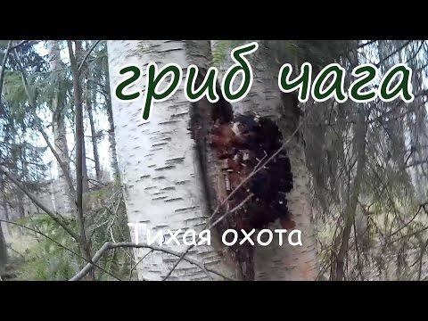 БЕРЕЗОВЫЙ ГРИБ, ИЛИ ЧАГА / Гриб чага против 100 болезней