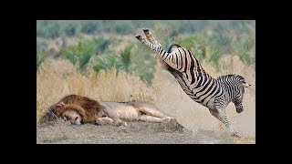 POWERFUL KICK OF ZEBRA TO LIONESS TO DEFEND ANOTHER ZEBRA
