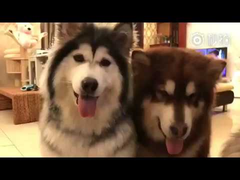 High Five With Malamute Dogs And Lazy Cat | pippypuppy
