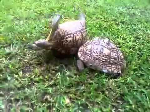 Con rùa tìm cách cứu bạn đang bị lật ngửa - VnExpress.flv