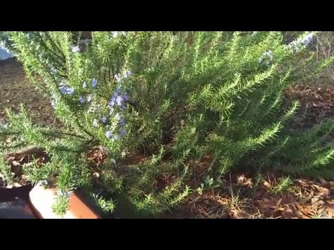 Rosemary: Health Benefits And Propagation