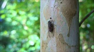 cicada, The voice of nature. Jothi s kannan.