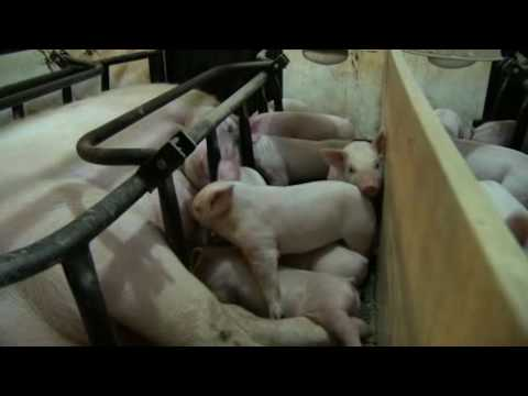 A Baby Pig Story