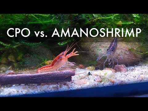 Mexican Dwarf Crayfish Vs. Amanoshrimp
