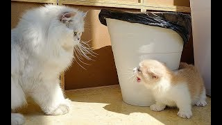 初生牛犊不怕虎!新来的小奶猫挑战三只大猫:让开!我可凶了!