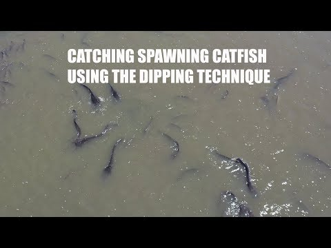 Catching Spawning Catfish Using The Dipping Technique