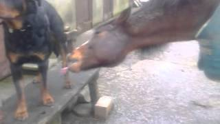 Alfi Arab Grooming Naz Rottweiler, 28th Jan 2014