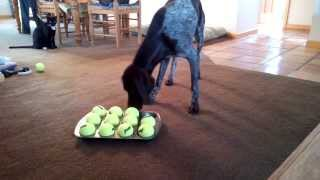 German Shorthair Pointer Mind & Scent Game