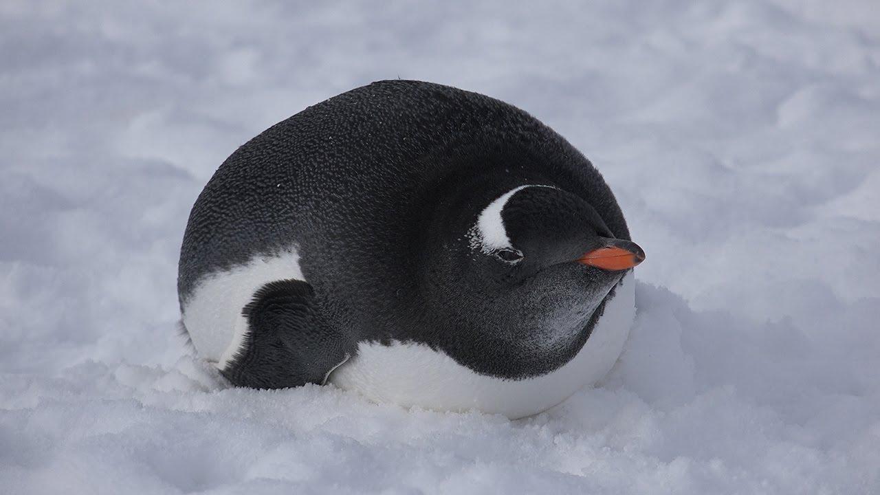 gentoo penguin u201cwalking life in antarctica u201d 4k handycam sony