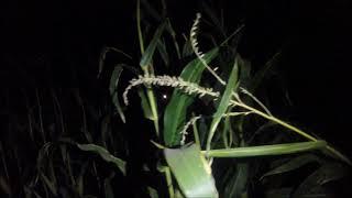 Moapa Corn Maze