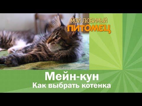 Как выбрать котенка породы мейн кун