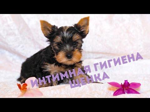 Интимная стрижка йорка / Интимная гигиена щенка / Щенок йорка