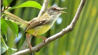 Download lagu Ciblek Gacor suara lantang di Alam bebas...bikin emosi burung lain