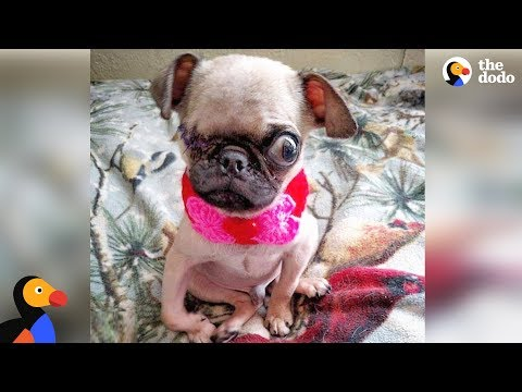 Sick Pug Puppy Rescued Thanks To Dog Loving Community | The Dodo