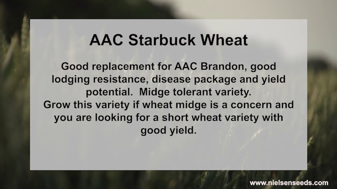 Still have a good supply of AAC Starbuck Red Spring Wheat.Time to get your seed booked for planting
