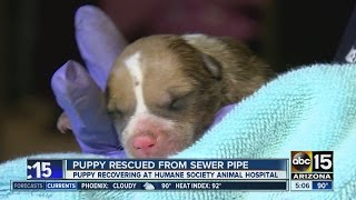 Puppy Rescued From Sewer Piple In Phoenix