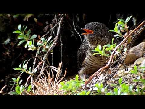 Young Cuckoo Kesälahti 2009