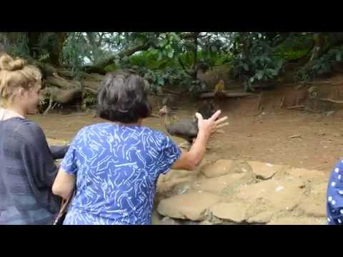 Woman steals wild chicken on Hawaii tour