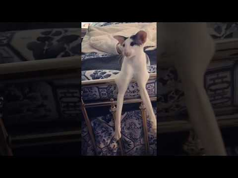 The Mo & Sally Show - Meet Teddy Long Legs. What A Cat!