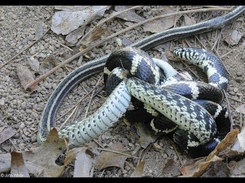 King Snake Vs Viper