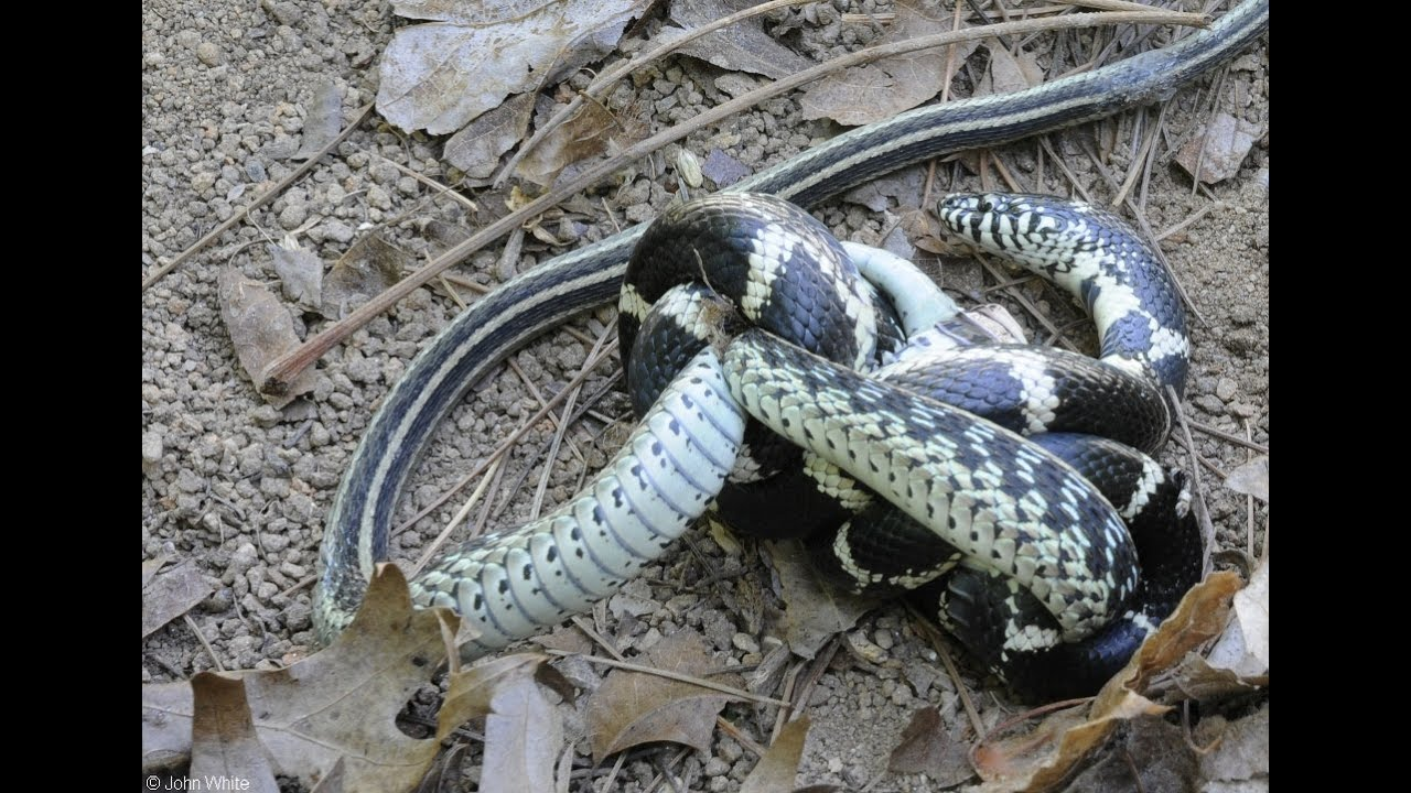 King Snake Takes On An Alligator Lizard (2 pics) |King Snake Vs Rattlesnake