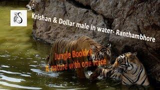 Wild Animals, Tigers in water at wildlife sanctuaries & national parks during safari | Ranthambhore