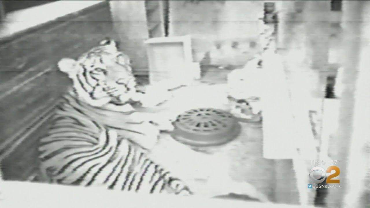Ming The Harlem Apartment Tiger S